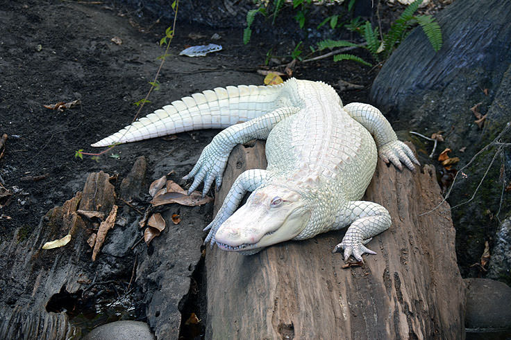 An albino alligator at N.C. Aquarium at Fort Fisher